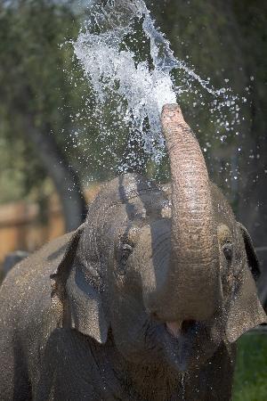 Sujatha the Asian Elephant at the Santa Barbara Zoo cools off!
