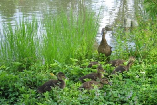 ‪‪Anderson Japanese Gardens‬: Duck and chicks‬