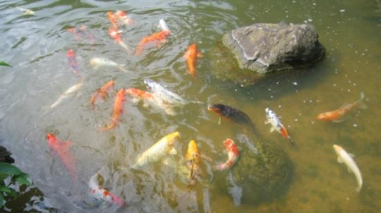 Rockford, IL: Koi Pond 2