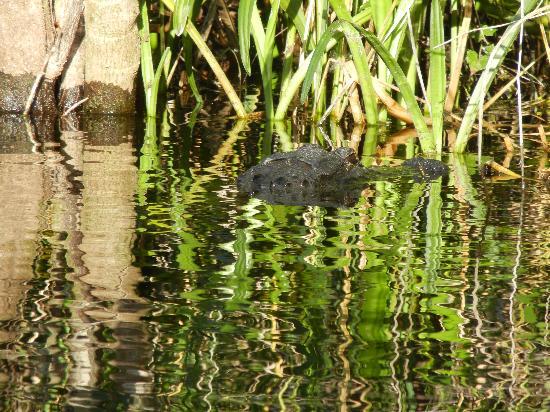 Everglades Area Tours: My favorite gator picture!