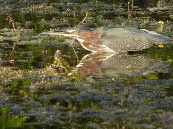 Everglades Area Tours: A beautiful and rare Green Heron with its reflection