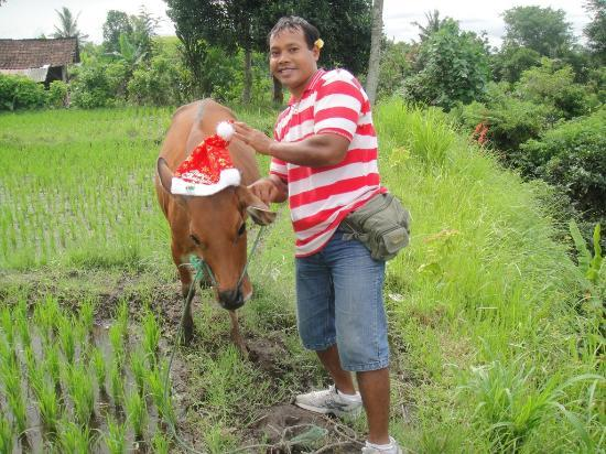 Side By Side Organic Farm: Ketut and his prize bull, donated by globally concerned citizens of SAS
