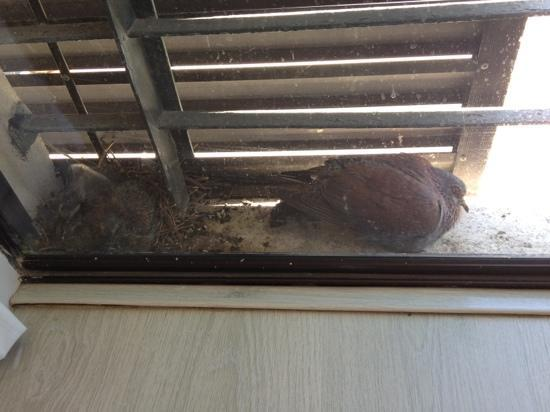 "La Splendida: pigeons nesting on my ""balcony"""