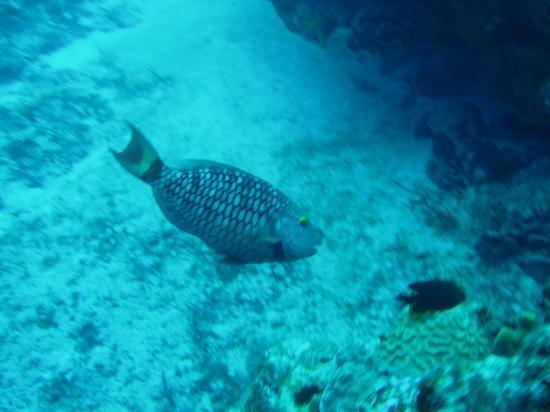 Mestizo Divers: Angelfish