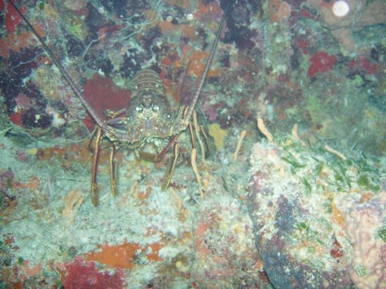 Mestizo Divers: Lobster