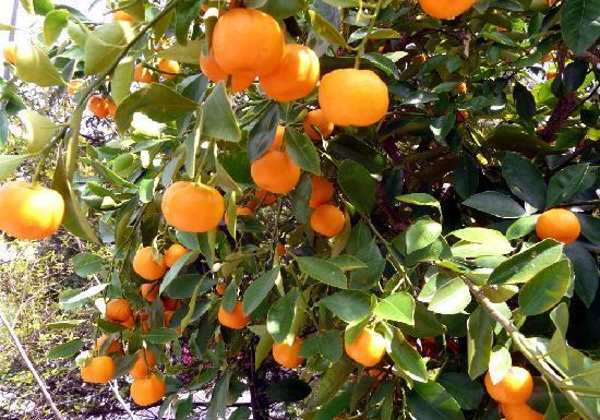 Restaurant Orangerie : Orangenbaum   orange tree