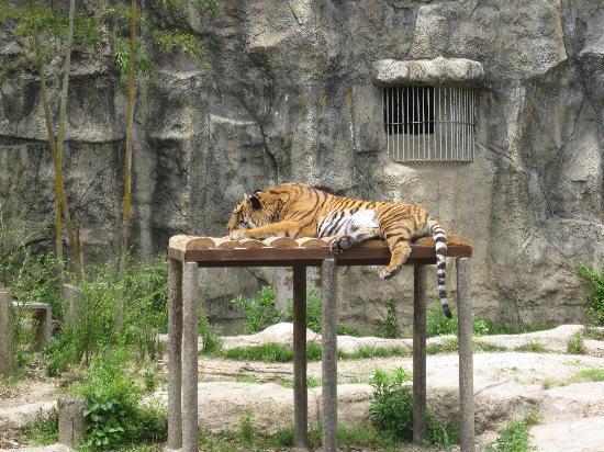 Ehime Tobe Zoo : トラ