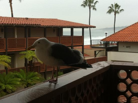 La Jolla Shores Hotel: Our balcony, view of ocean and new friend!