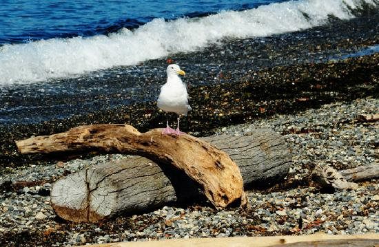Seagull at the Mukilteo Lighthouse Park Beach