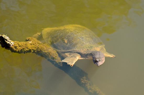 Turkey Creek Sanctuary: Turtle