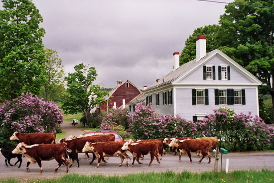 Inn at Valley Farms: Running of the Cows
