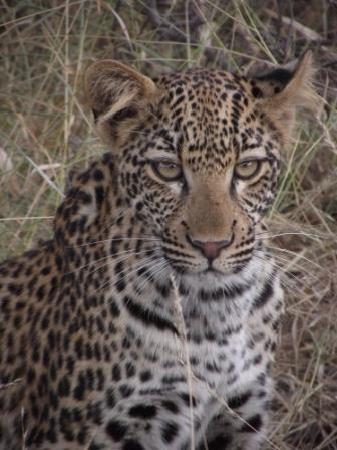 EcoTrek Safaris - Day Tours: Young leopard