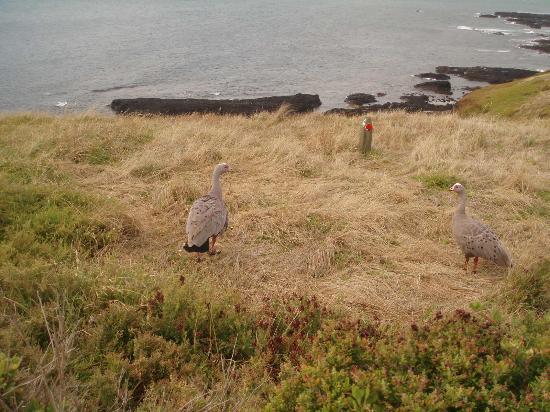 Phillip Island Nature Parks - Penguin Parade: locals