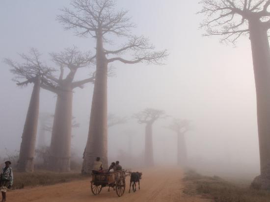 Morondava, Madagascar: 朝もやの中のバオバブ並木