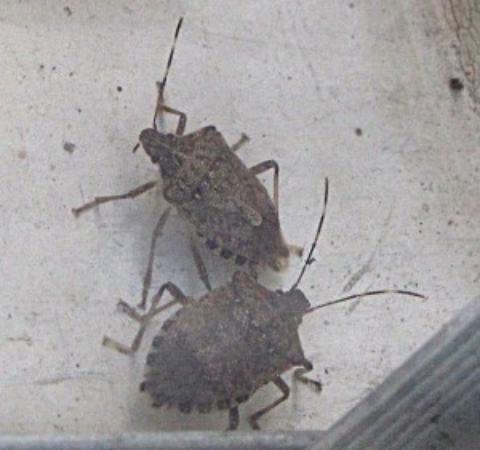 Ramada Limited Catlettsburg/Ashland: Try getting any sleep with these buggers crawling around.