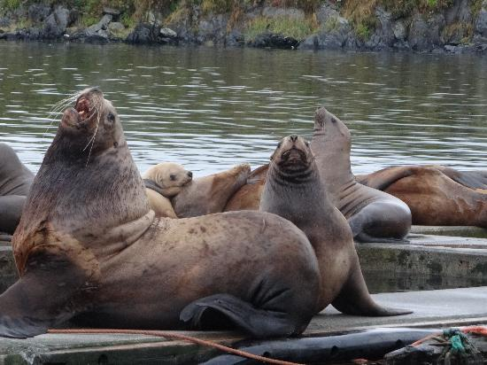 Galley Gourmet : Kodiak Sea Lions