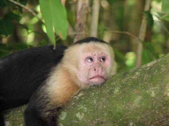 Playa Manuel Antonio: Monkey annoyed by tourists