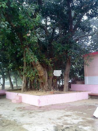 Parijaat Tree: Age  old  Banyan  tree  in  Kunteswar  premises