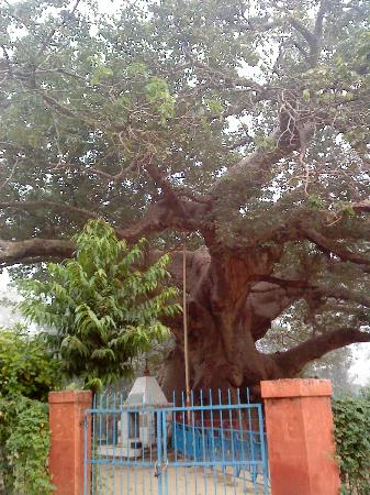 Parijaat Tree: Parijat  tree