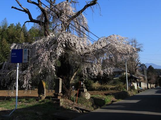 Shingenbomichi: 渋沢の枝垂れ桜