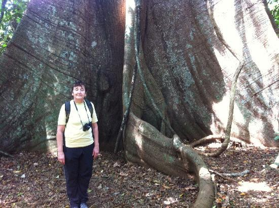 Barro Colorado Island: the big tree