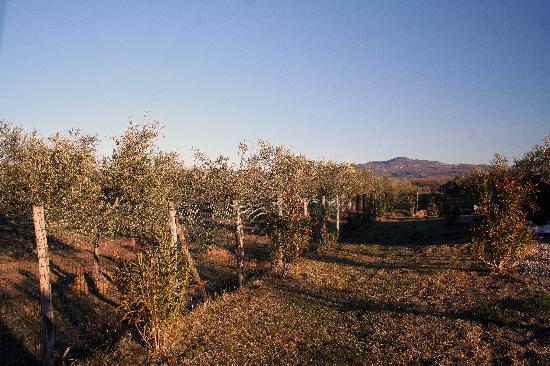 Agriturismo Il Giglio di S. Antonio: Olive Grove
