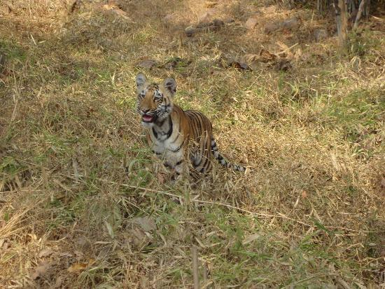 Tiger Trails: One of four young cubs
