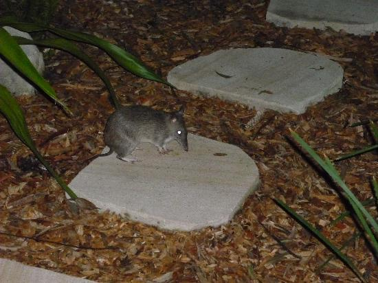 Lane Cove River Tourist Park: One of the bandicoots in the compound