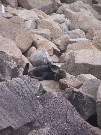 Heaphy Track: Seal in the sun
