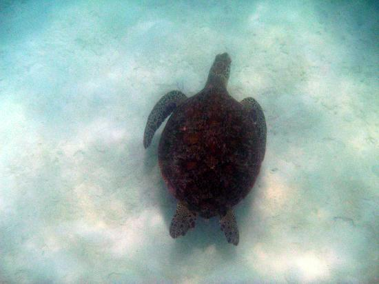 Oasis at Palm Cove: Green Turtle