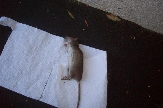 Milnerton, South Africa: One of the rats .