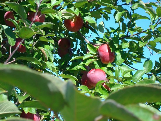 Shelburne Farm: Apple Tree