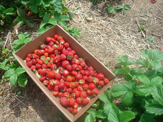 Tougas Family Farm: Strawberries