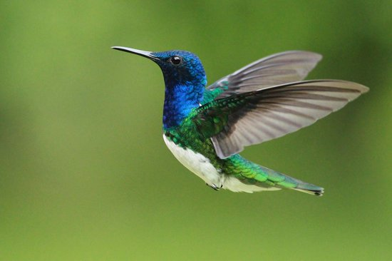 La Virgen, Kostaryka: White-necked Jacobin