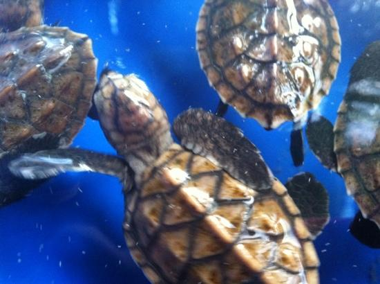 Tamaraw Beach Resort: baby turtle they hold back to improve survival rates