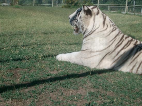 Zoo Bubalcó: tigre blanco
