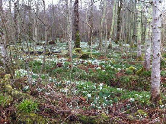 The Harbour Inn: Snowdrops in nearby woods