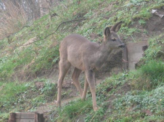Villa Ventcouvert: Une des biches venues manger dans le jardin!