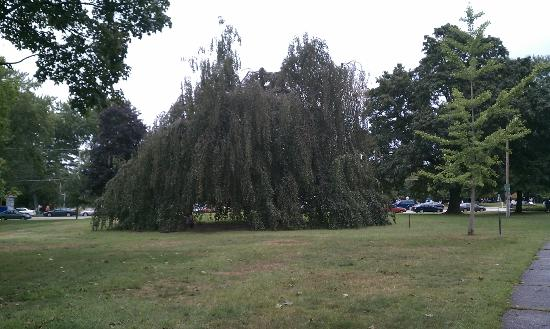 Greeley Park: Long standing Weeping Willow