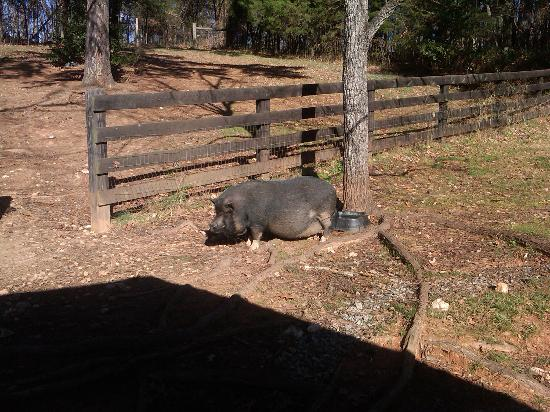 White Pig Bed and Breakfast: More friendly pigs