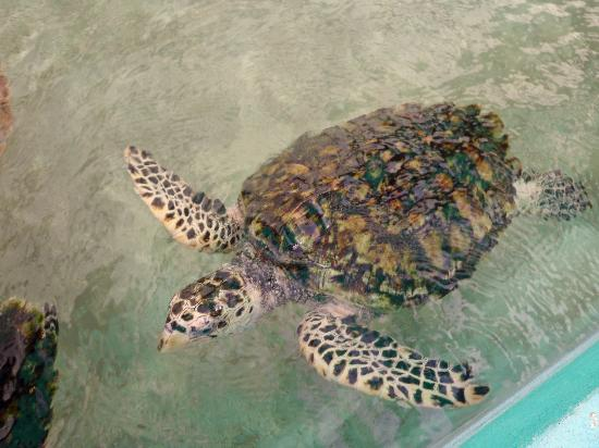 Palm Island Resort & Spa: Turtle at Tobago Cays