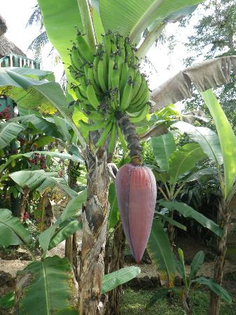 Belize Jungle Dome: The banana tree flower right beside the pool!