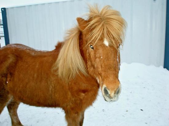 Viking Horses: Icelandic Horse