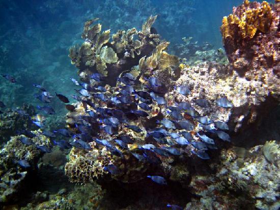 Club Amigo Carisol Los Corales: Blue Tang
