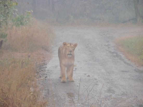 Zirakpur, India: Lion Safari