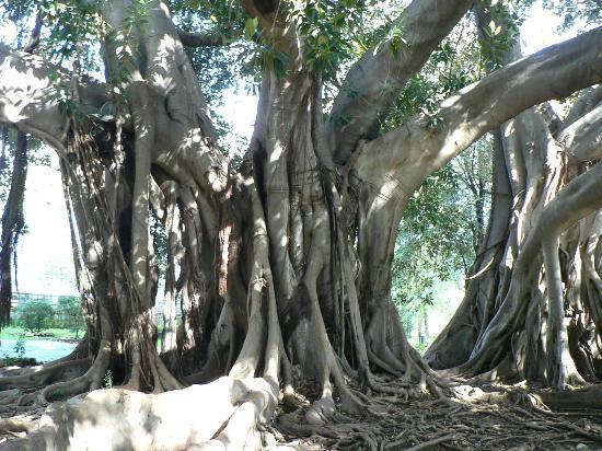 Villa Trabia: Ficus magnoloides