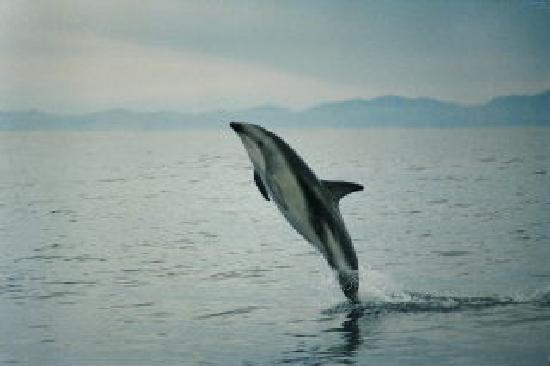 Admiral Creighton Bed & Breakfast: Dusky Dolphin at play