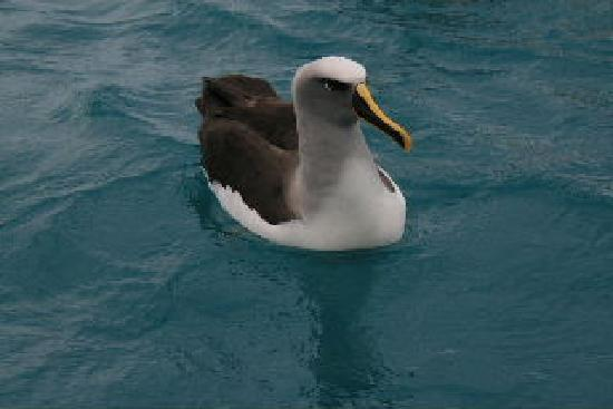 Admiral Creighton Bed & Breakfast: More species of Albatross than any where in the World