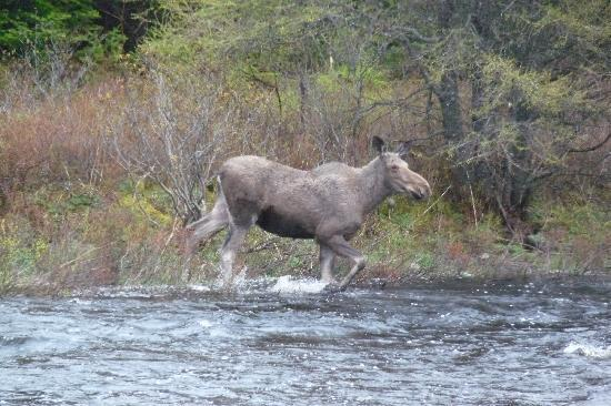 Sunny Rock Bed and Breakfast Minden: Moose comes to visit theSunny Rock B&B on the Drag River North of Toronto