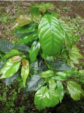 Semilla Verde Boutique Hotel: SV's organic, shade grown coffee plants